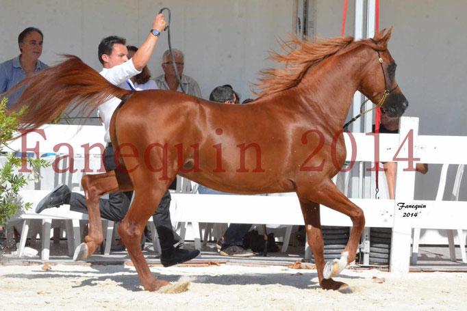 Concours National de Nîmes de chevaux ARABES 2014 - Notre Sélection - PRIAM DE DJOON - 14