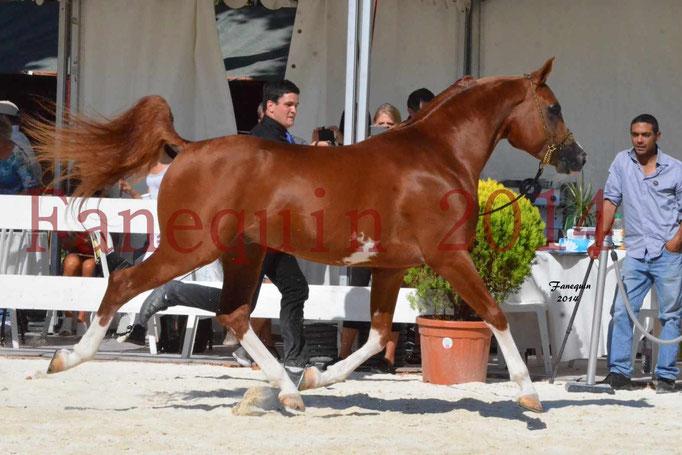 Concours National de Nîmes de chevaux ARABES 2014 - Notre Sélection - VALMYSTIC DE LA ROTJA - 05