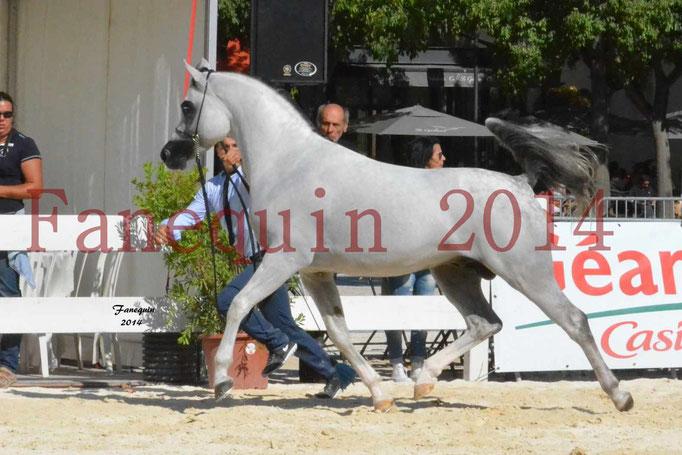 Concours National de Nîmes de chevaux ARABES 2014 - Notre Sélection - NADJYK DES AUBUS - 03