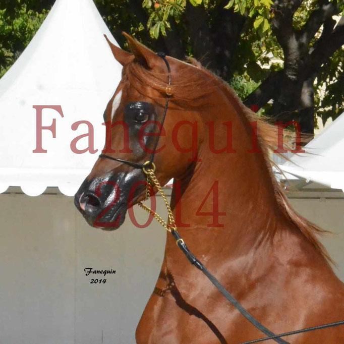 Concours National de Nîmes de chevaux ARABES 2014 - Notre Sélection - Portraits - PRIAM DE DJOON - 10