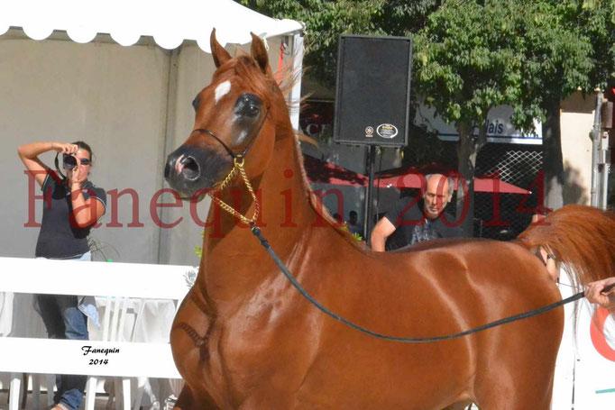 Concours National de Nîmes de chevaux ARABES 2014 - Notre Sélection - PRIAM DE DJOON - 13
