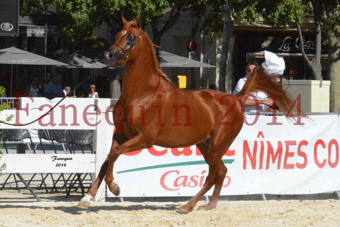 Concours National de Nîmes de chevaux ARABES 2014 - Notre Sélection - PRIAM DE DJOON - 11