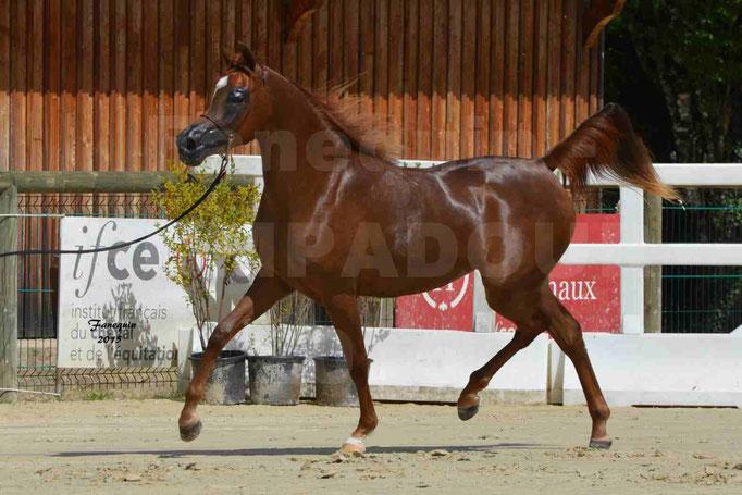 Championnat de FRANCE des chevaux ARABES à Pompadour - PEARL DE DJOON - Notre Sélection - 25