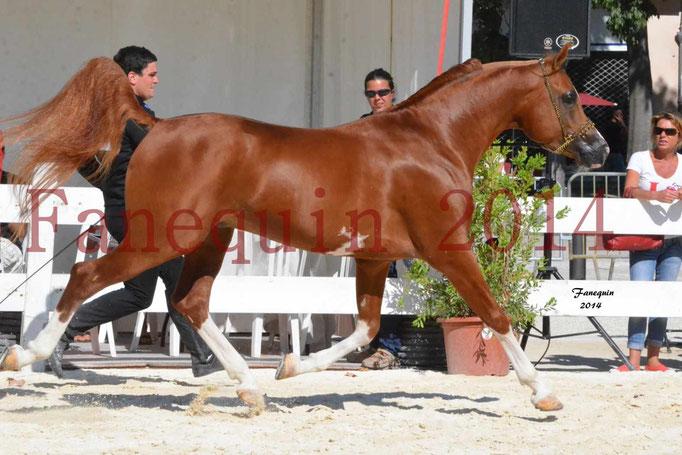 Concours National de Nîmes de chevaux ARABES 2014 - Notre Sélection - VALMYSTIC DE LA ROTJA - 09