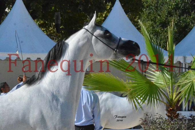 Concours National de Nîmes de chevaux ARABES 2014 - Notre Sélection - Portraits - NADJYK DES AUBUS - 8
