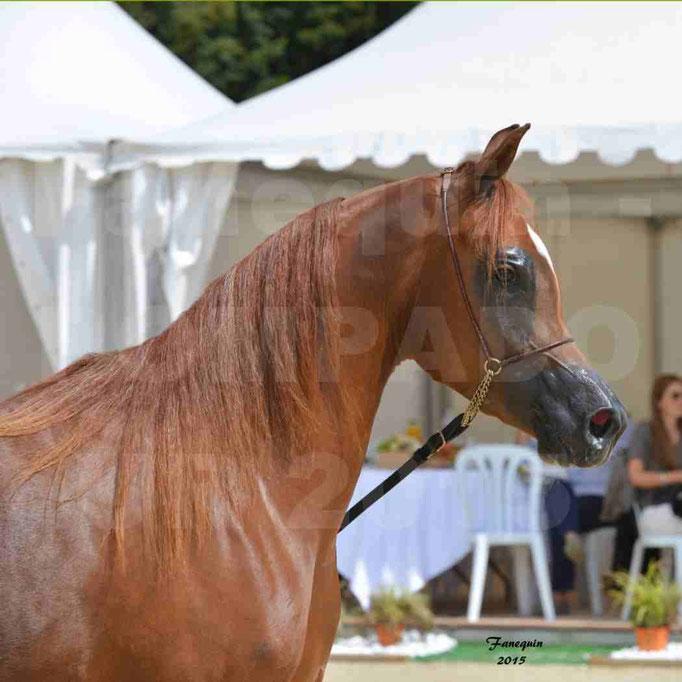 Championnat de FRANCE des chevaux ARABES à Pompadour - PEARL DE DJOON - Notre Sélection - Portraits - 01