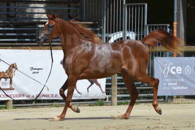 Championnat de FRANCE des chevaux ARABES à Pompadour - PEARL DE DJOON - Notre Sélection - 30