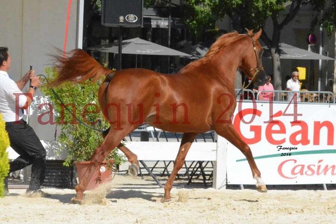 Concours National de Nîmes de chevaux ARABES 2014 - Notre Sélection - PRIAM DE DJOON - 10