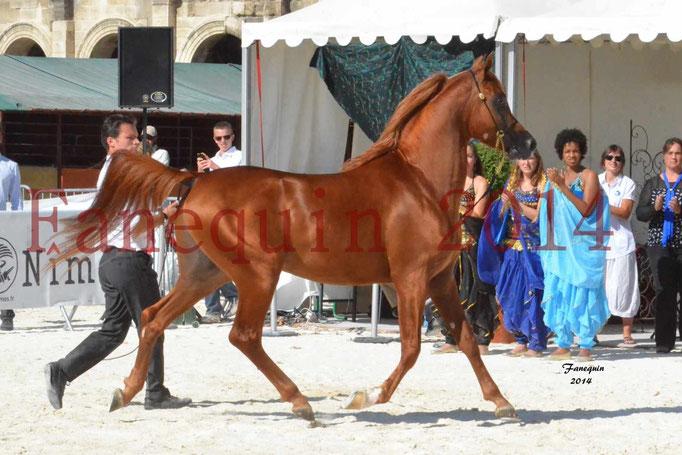 Concours National de Nîmes de chevaux ARABES 2014 - Notre Sélection - PRIAM DE DJOON - 02
