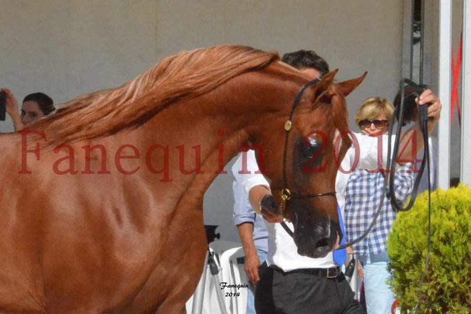 Concours National de Nîmes de chevaux ARABES 2014 - Notre Sélection - Portraits - PRIAM DE DJOON - 02