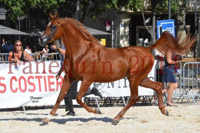 Concours National de Nîmes de chevaux ARABES 2014 - Notre Sélection - PRIAM DE DJOON - 19