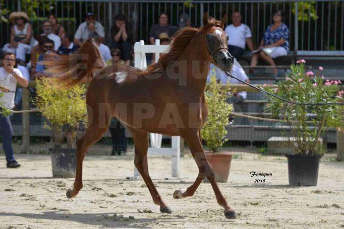 Championnat de FRANCE des chevaux ARABES à Pompadour - PEARL DE DJOON - Notre Sélection - 23