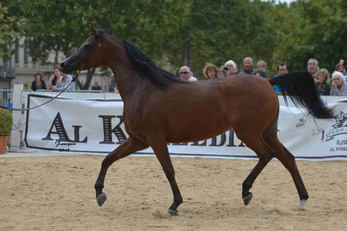 KARAWAN ALBIDAYER en 2015 - Concours national Nîmes prestige - notre sélection - 08