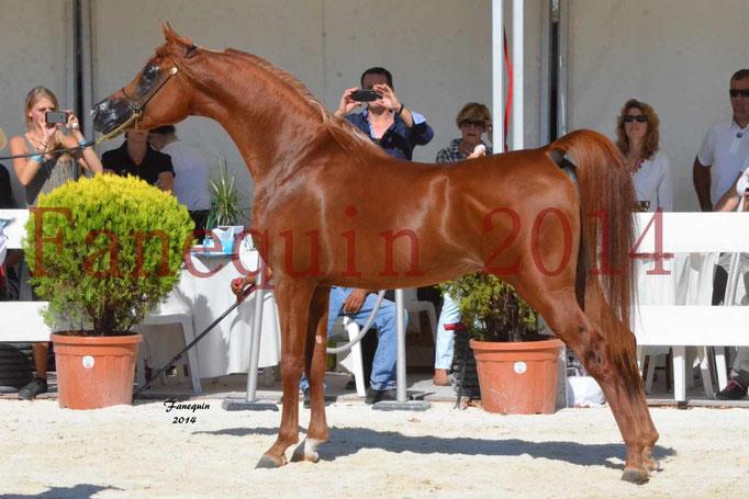 Concours National de Nîmes de chevaux ARABES 2014 - Notre Sélection - PRIAM DE DJOON - 27
