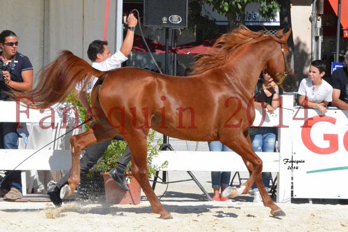 Concours National de Nîmes de chevaux ARABES 2014 - Notre Sélection - PRIAM DE DJOON - 17