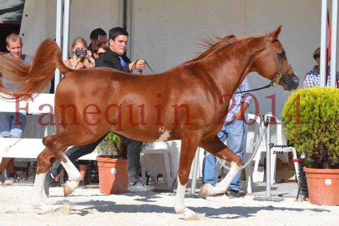 Concours National de Nîmes de chevaux ARABES 2014 - Notre Sélection - VALMYSTIC DE LA ROTJA - 06