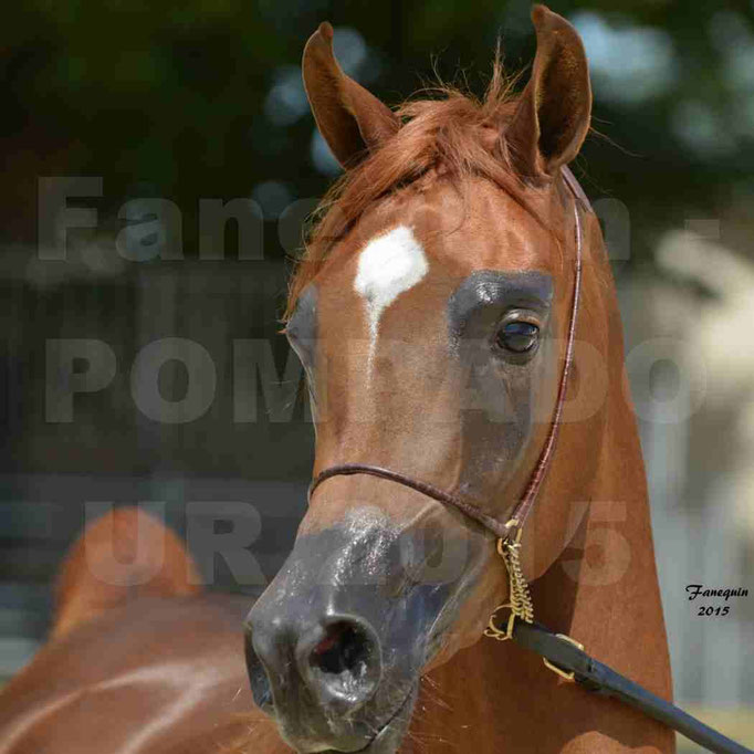 Championnat de FRANCE des chevaux ARABES à Pompadour - PEARL DE DJOON - Notre Sélection - Portraits - 04