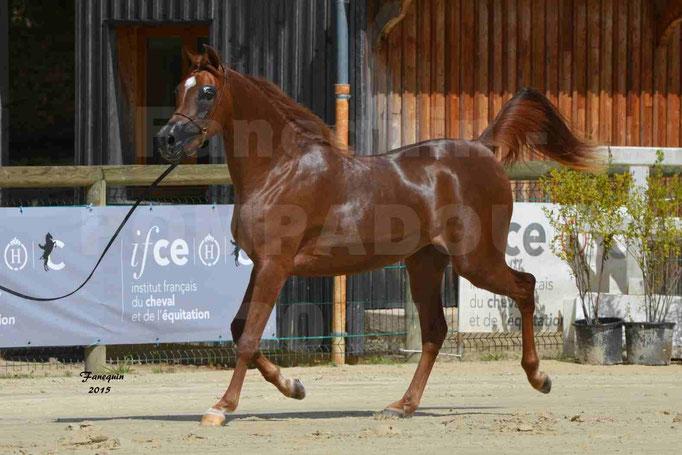 Championnat de FRANCE des chevaux ARABES à Pompadour - PEARL DE DJOON - Notre Sélection - 27