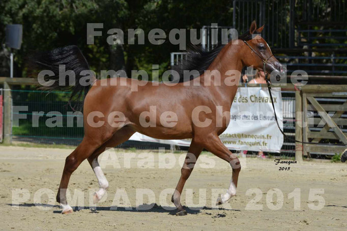 Championnat de FRANCE du cheval ARABE à POMPADOUR 2015 - Classes PROFESSIONNELS - PRIMERIUS EMER - 06