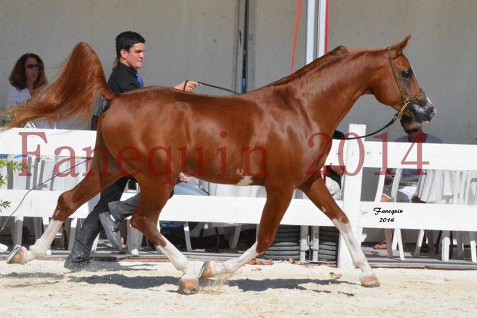 Concours National de Nîmes de chevaux ARABES 2014 - Notre Sélection - VALMYSTIC DE LA ROTJA - 07
