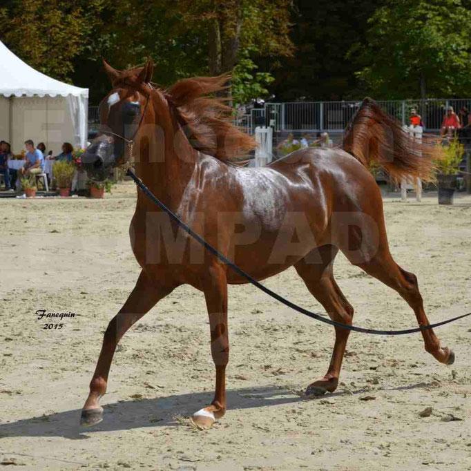 Championnat de FRANCE des chevaux ARABES à Pompadour - PEARL DE DJOON - Notre Sélection - 24