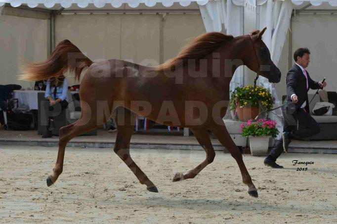 Championnat de FRANCE des chevaux ARABES à Pompadour - PEARL DE DJOON - Notre Sélection - 10