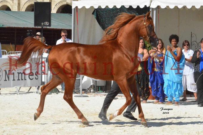 Concours National de Nîmes de chevaux ARABES 2014 - Notre Sélection - PRIAM DE DJOON - 06