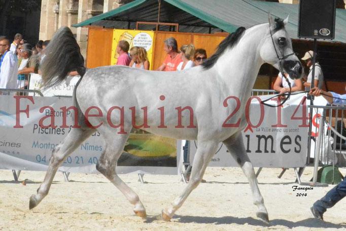 Concours National de Nîmes de chevaux ARABES 2014 - Notre Sélection - NADJYK DES AUBUS - 01