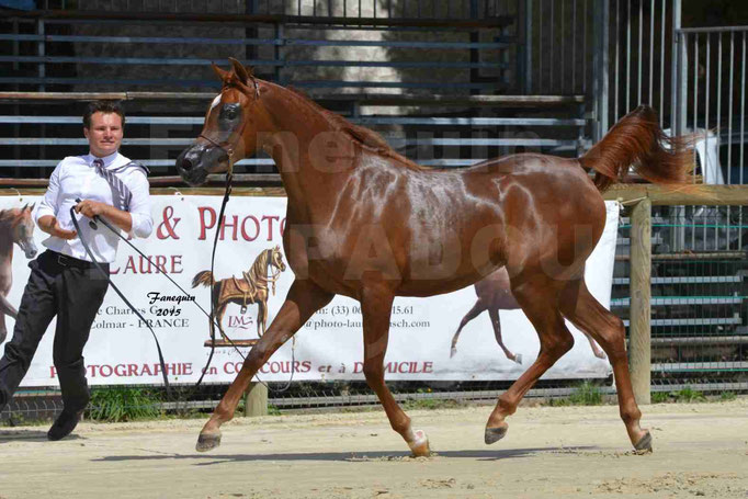 Championnat de FRANCE des chevaux ARABES à Pompadour - PEARL DE DJOON - Notre Sélection - 31