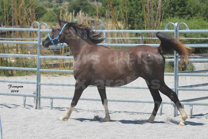 Concours d'Elevage de chevaux Arabes  le 27 juin 2018 à la BOISSIERE - 5
