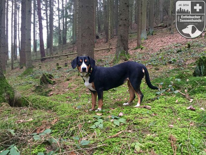 Entlebucher Sennenhunde vom Mirellental - Ida vom Thurnerkamp im Mirellental