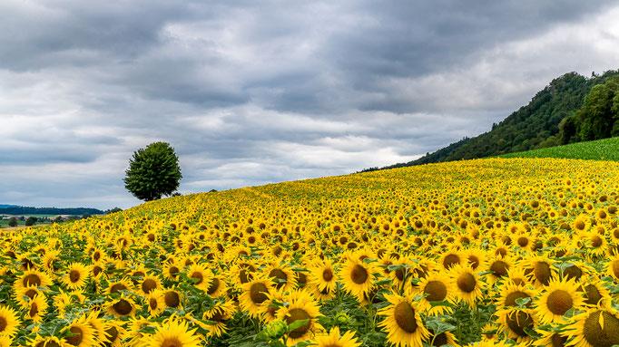 70_Sonnenblumenfeld