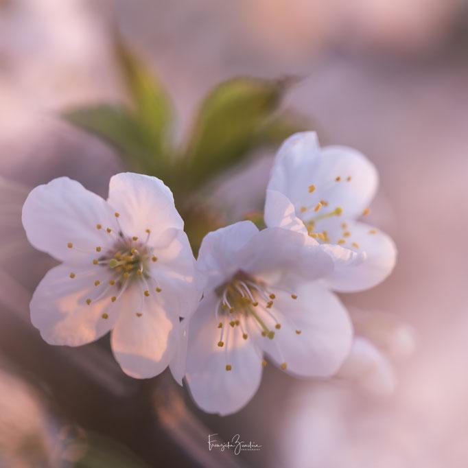 330_Kirschblüte