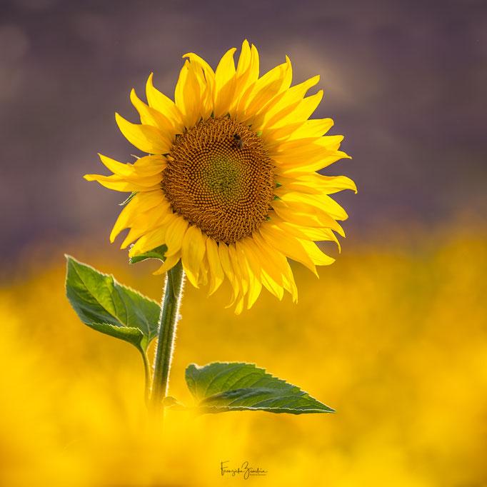 337_Sonnenblume