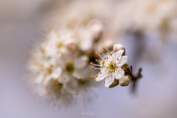 349_Schwarzdornblüte
