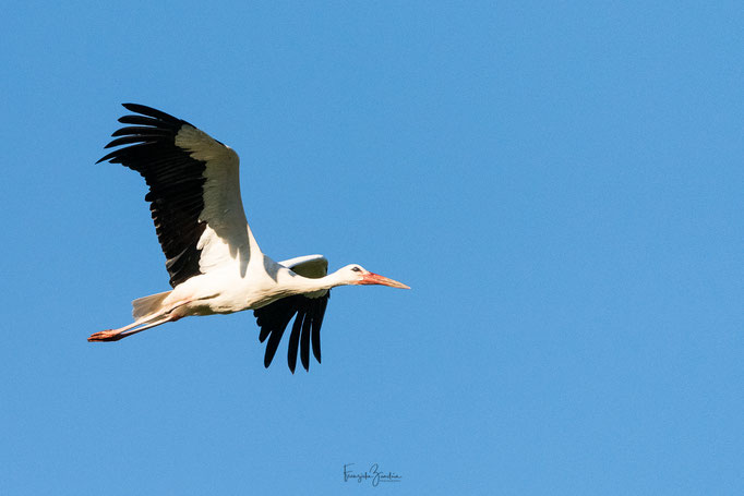 345_Storch