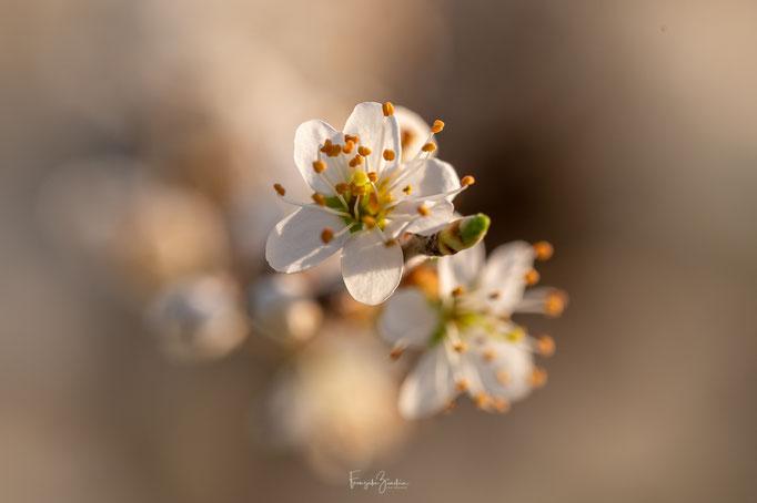 345_Schwarzdornblüte