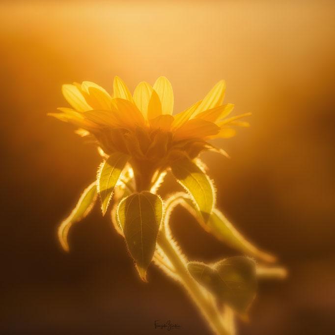 320_Sonnenblume
