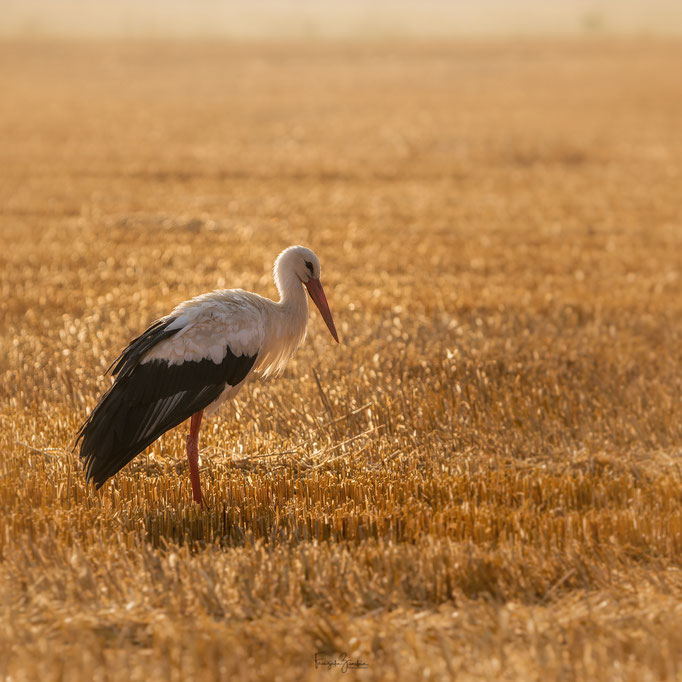 323_Storch