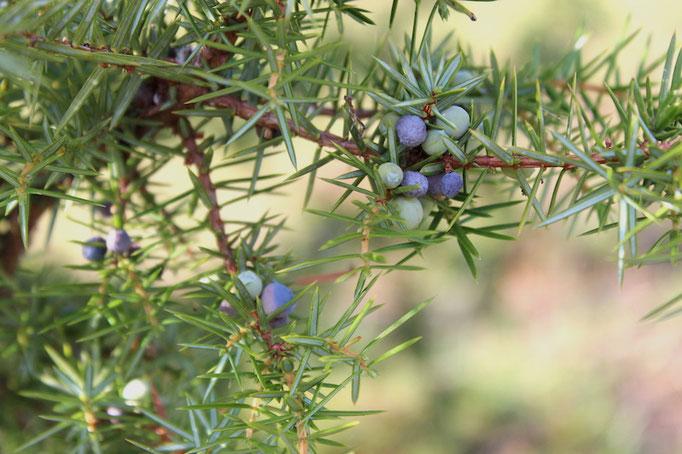 Wachholder - Juniperus