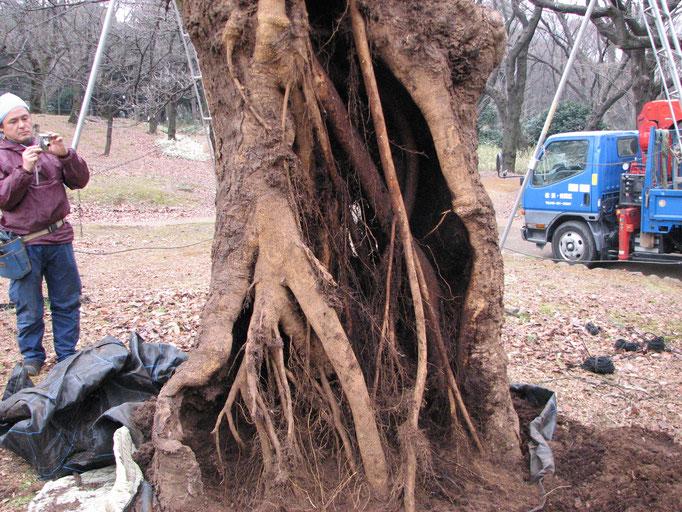 2011年1月。発根状況。発根が進み、カルスの発達も見られる。