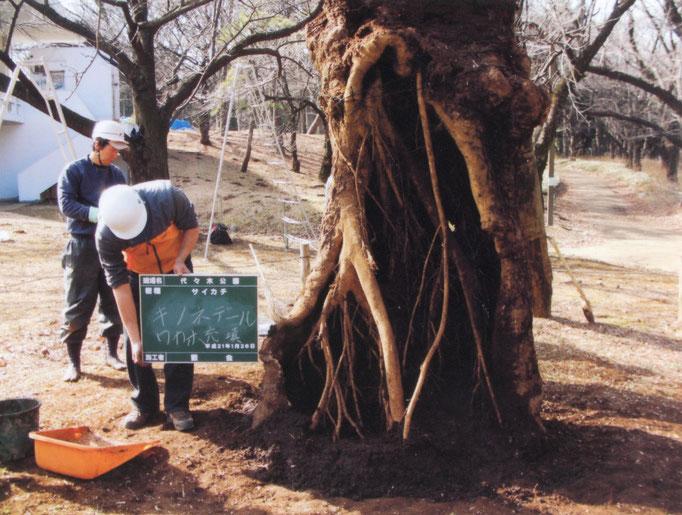 2009年1月。発根状況。土壌改良及び保護材の効果により発根が促されいてる。