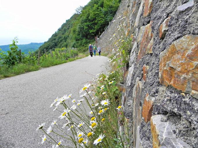 Durch die Weinberge wandern auf dem Rotweinwanderweg
