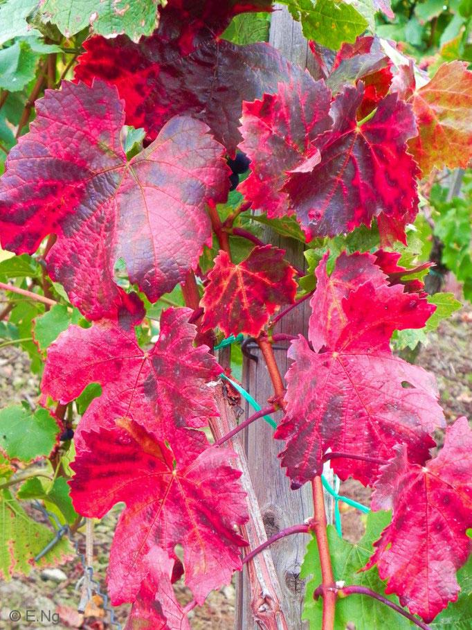 Wunderschönes rotes Weinlaub