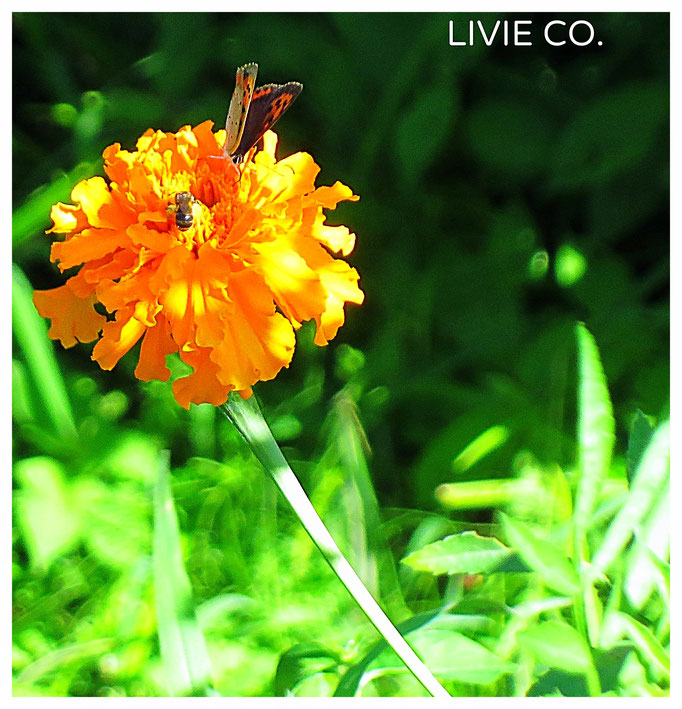 ♡ LIVIE NATURE PHOTOS マリーゴールド
