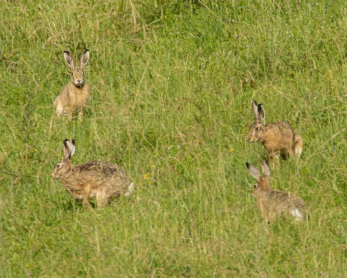 Feldhasen bei einer lebhaften Hasenhochzeit....