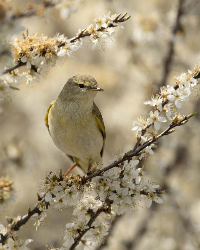 Fitis im Blütenmeer - der Frühling ist daaaa!!!