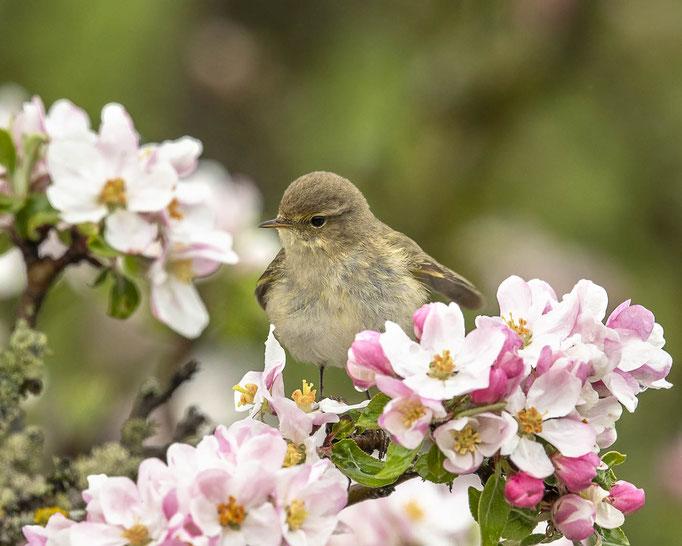 Zilpzalp in der Apfelblüte