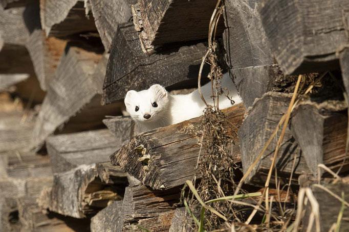 Hermelin im Holz