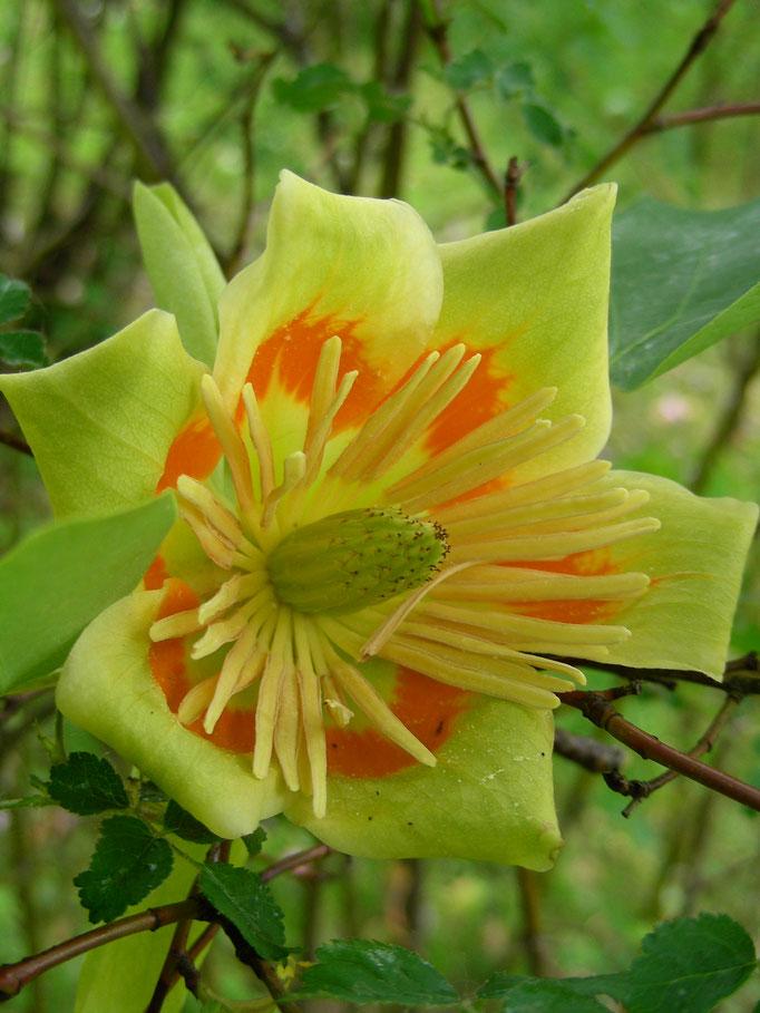 Liriodendron tulipifera, Tulpenbaum, Blüte
